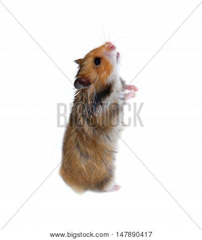 Brown Syrian hamster stands on his hind paws isolated on a white background