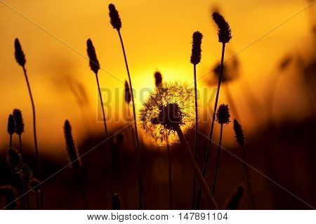 Dandelion in  field on  background of the setting sun