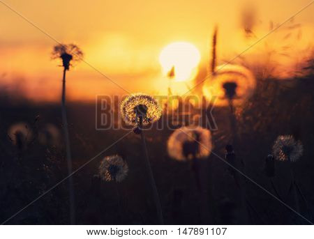 Dandelions in  field on  background of the setting sun