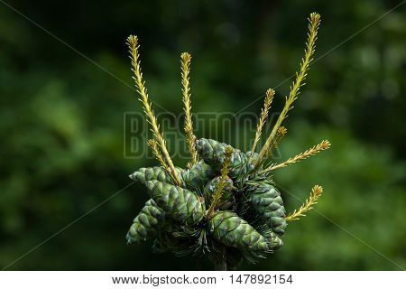 Common juniper (Juniperus communis). Conifer plant.