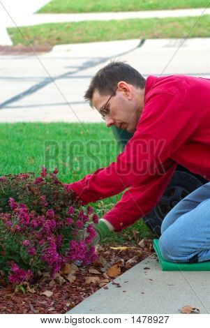 Gardener Working On The Mum Plants In The Landscaping