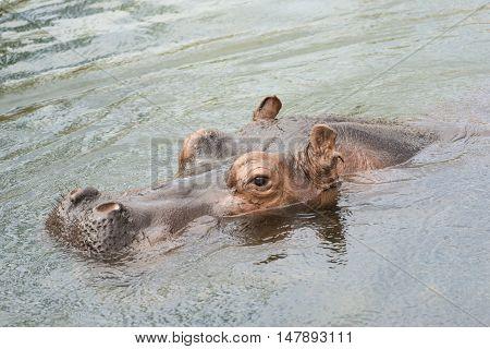 Head of a swimming Hippo Hippopotamus amphibius