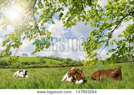 Сows lying in a meadow with sun and rainbow on a blue sky
