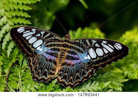 Tropical parthenos sylvia butterfly on the green leaf. Macro photography of wildlife.