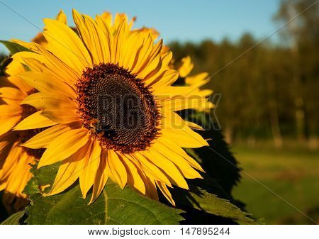 Close-up of sunflower wild flower sits on a summer meadow. Poland Bory Tucholskie Close horizontal view.