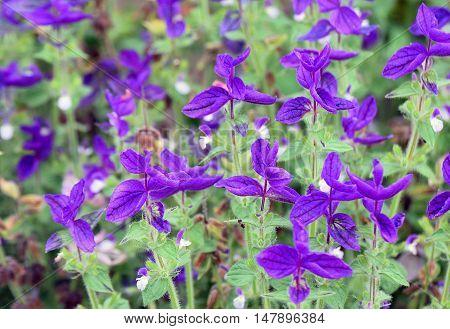 Purple flowers of Salvia Viridis. Close up.