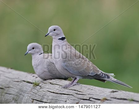 Eurasian collared dove (Streptopelia decaocto) sitting on a tree trunk with vegetation in the background
