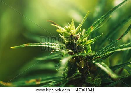 Cultivated industrial marijuana hemp in field close up