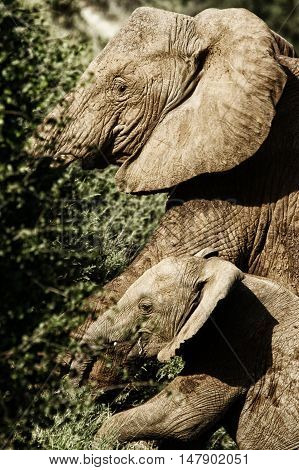 female elephant with baby elephant in the African savanna Kenya
