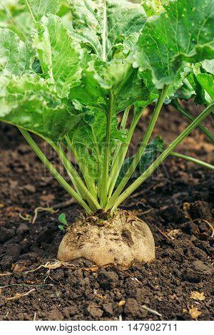 Sugar beet root crop in the ground selective focus
