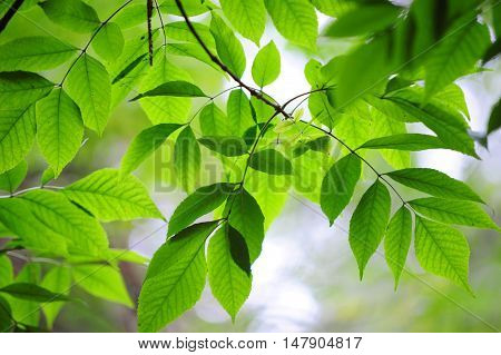 Branch of beautiful green leaves of Ash tree. Concept Lightess and Health