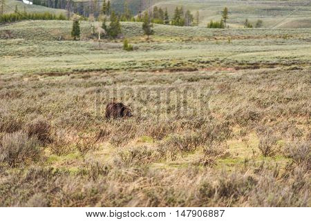 Bleeding beat up mother grizzly bear walking through dry grass prairie in Yellowstone National Park