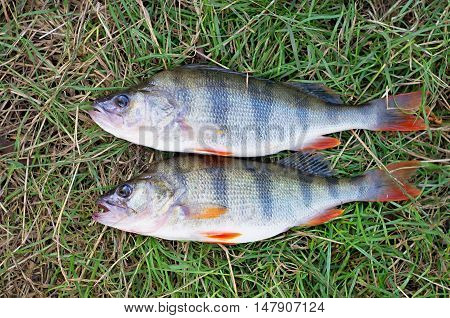 Two bass caught lying on the green grass