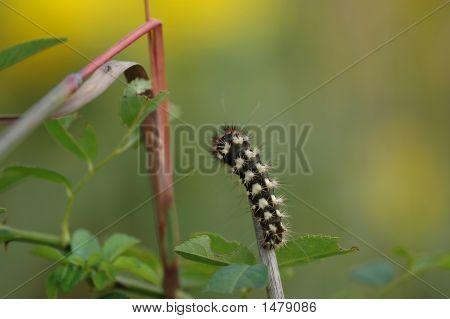 Caterpillar colorido