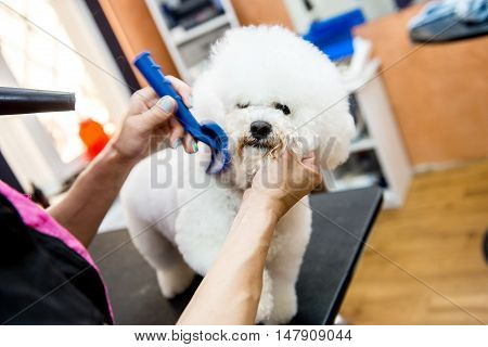 A small beautiful and adorable white bichon frise dog being groomed by a professional groomer using special products