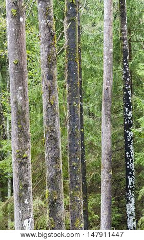 Many tall slim tree stems in green forest