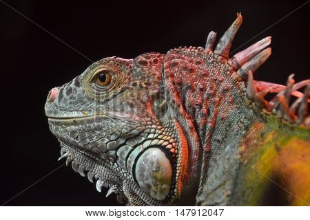 Close Up Portrait Of Green Iguana Male On Black