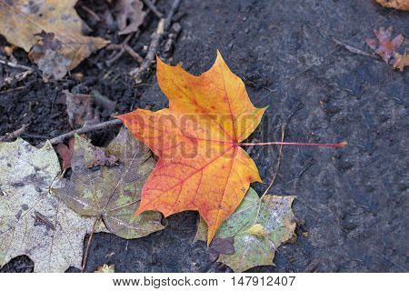 Red and golden single leaf on the ground