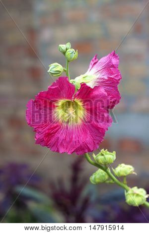Flower of pink mallow closeup on green background