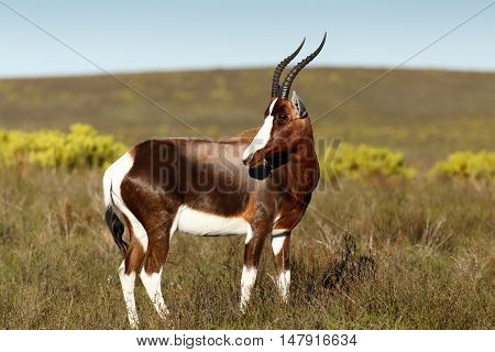 Bontebok Standing And Eating Grass