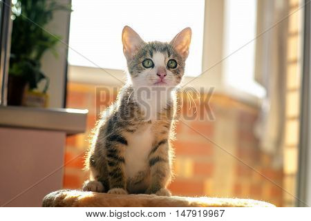 Kitten In Backlit Conditions. Age Of 2 Months