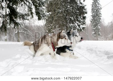 Two Adult Dogs Play In The Snow. Husky. Age 3 Years
