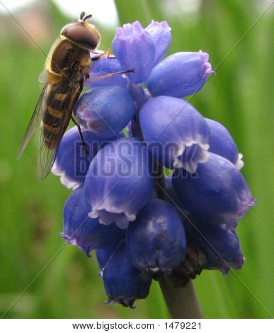 Syrphid Fly On A Grape Hyacinth