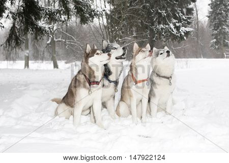 Group Of Four Dogs In The Snow Drifts.look Up. Husky. Age 3 Years