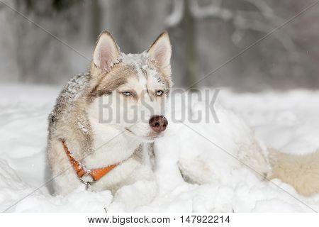 Dog grimacing. Tricky. The Husky. age 4