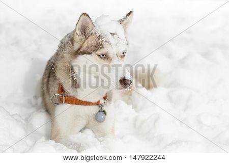 Dog grimacing. Curiosity. Husky. Snow. age 4