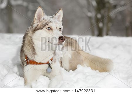 Dog grimacing.  snow Thought. Husky. age 4