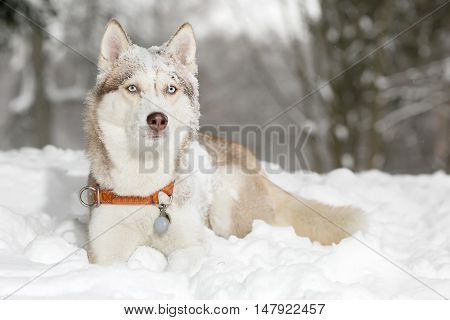 Dog in the snow. Husky. age 4