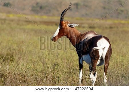 Bontebok Looking Stoned