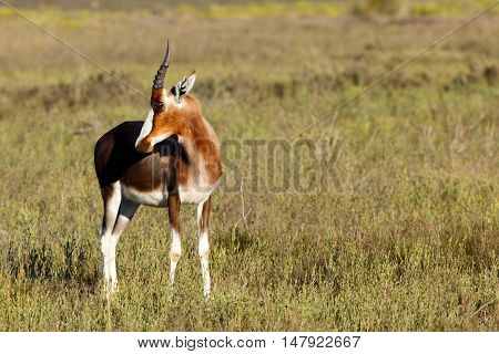 Baby Bontebok Looking Right