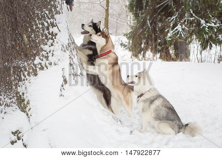 Group Of Beautiful Huskies. 3 Dogs. Winter. Forest.
