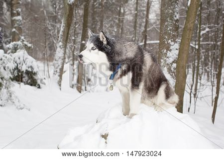 Beautiful Dog In The Snow . Winter. Forest. Husky