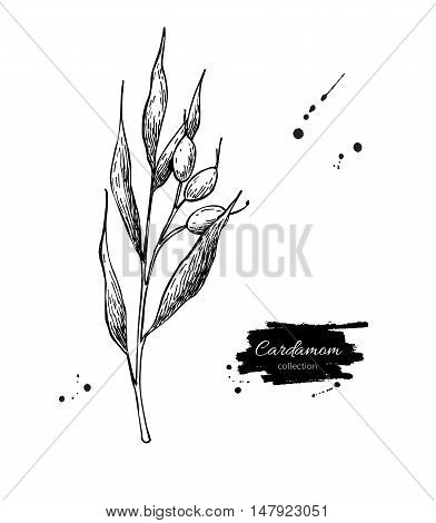 Cardamom plant vector hand drawn illustration. Isolated spice object. Engraved style seasoning. Detailed organic product sketch. Cooking flavor ingredient. Great for label, sign, icon