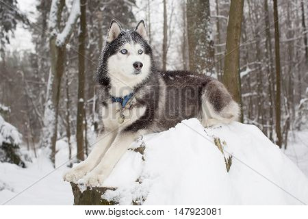 Important Dog In The Winter Forest. Husky