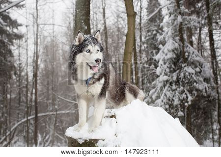Noble Dog In The Winter Forest. Husky