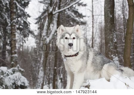 Fluffy dog in winter forest. husky. age 1