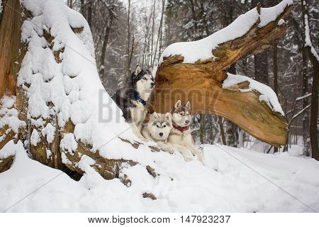 Group Of Dogs In A Snowy Forest. Husky
