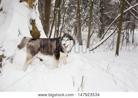 big fluffy beautiful dog goes through the snow Winter. husky