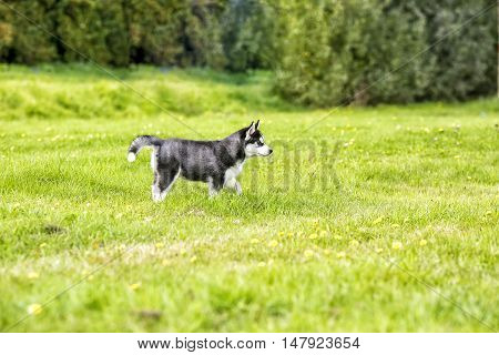 The husky puppy on the lawn on grass
