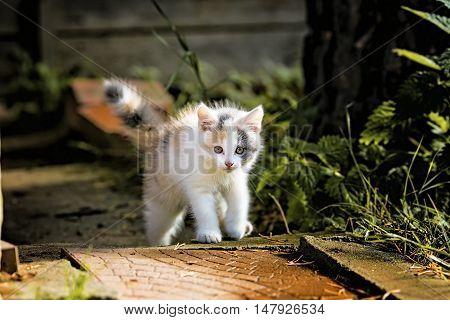 Charming fluffy Kitten on the hunt 3 month