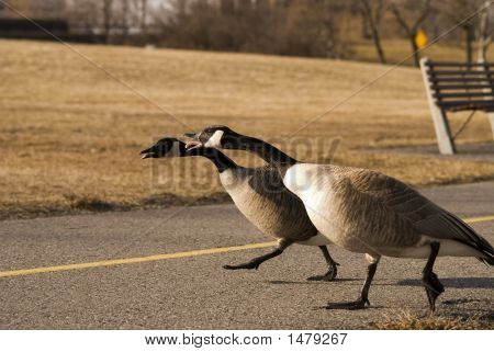 Geese On Bike Path