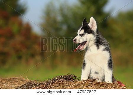 husky puppy yawns. He sits on dry grass