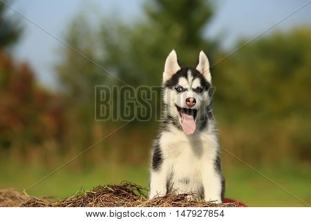 puppy husky with different color eyes. He sits on dry grass