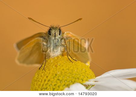 small orange butterfly on chamomile flower