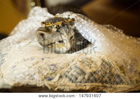 Kitten in Diadema is on the pillow. age 2 months.