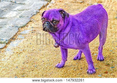 Glamorous unreal purple pug looking at the camera. Exotic Thai dog painted in the latest fashion